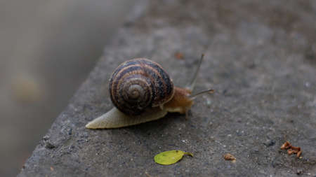 A grape snail is slowly crawling on a concrete floor in a park Banque d'images