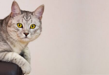 yellow-eyed cat sitting on the couch Stok Fotoğraf - 131823407