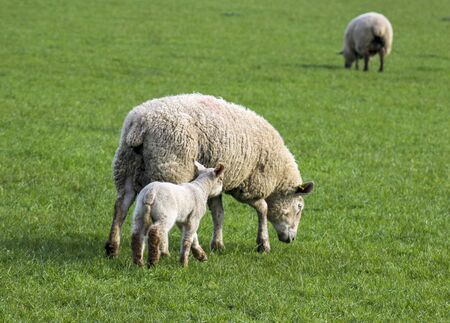A group of sheep on a farm. Animal: Mother and cub