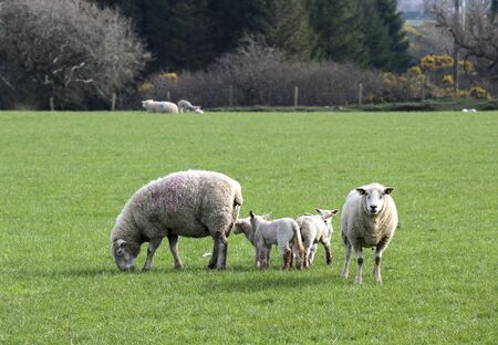 A group of sheep on a farm. Stock Photo