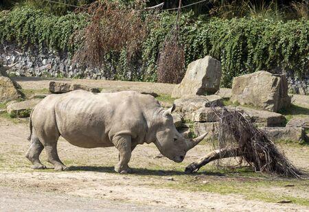 White rhino in the wild