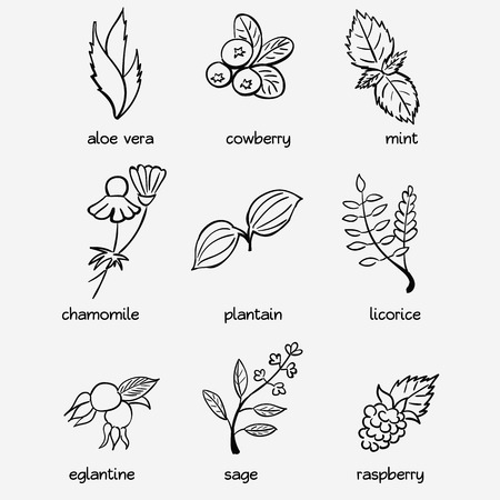 licorice: Icon set - medical herbs and berries. Aloe vera, cowberry, mint, chamomile, plantain, licorice, eglantine, sage, raspberry Illustration