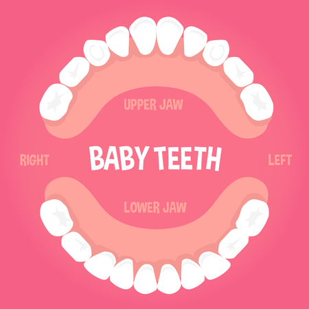 teething: Baby teeth  anatomy concept infographic element. Vector illustration.
