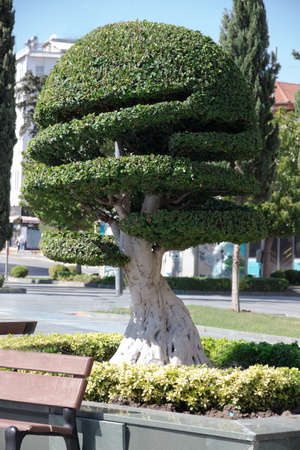 Topiary. Ancient cypress with a powerful trunk beautifully curly trimmed grows on the square on a sunny day.