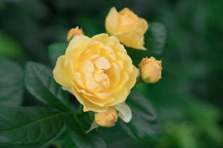Yellow flower of a variety of roses Devtd Austin with three buds on a bush in the summer in the garden. Macro