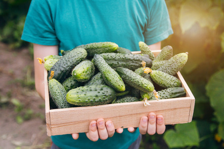 Child holding freshly picked cucumbers in the box. Concept of eco-farm in suburban areas.