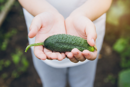 Boy holding freshly picked from the garden cucumber. Concept of eco-farm in suburban areas.