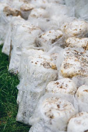 Bags for growing oyster mushrooms. An organic farm. Natural production. Selective focus.
