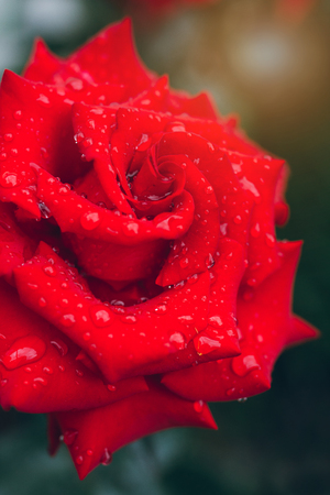 Beautiful red rose with raindrops on the leaves. Close up. Selective focus.