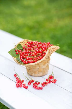 A basket of red currants on a white bench. Green grass background. Standard-Bild
