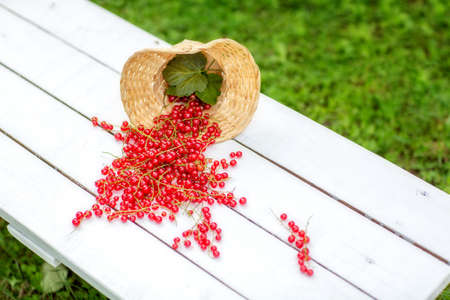 Basket with scattered red currants on a white bench.