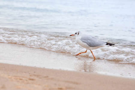 A lonely gull runs along the sea, in a hurry