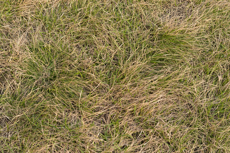 grew: Old and new grass. Texture, background. Fresh green grass grew among the dry last year.