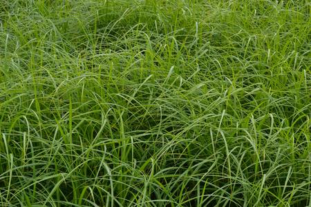 Swamp grass. Background, texture.