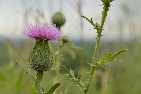 One thistle flower on a blurred background.