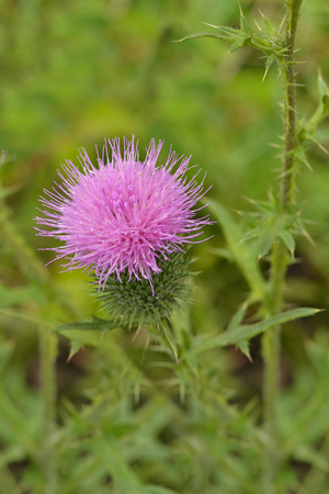 A flower of a thistle.