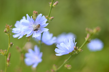 The bee is sitting on the flower of chicory.