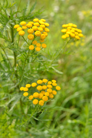 Tansy flowers on a background of green grass.