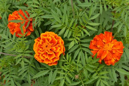 cirrus: Marigolds among green leaves. Stock Photo