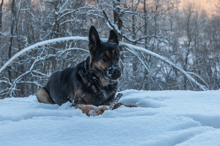 Portrait of a dog playing with a stick lying on the snow in the winter forest. photo
