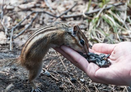 ardilla: Chipmunk se levanta y come semillas con las manos Foto de archivo