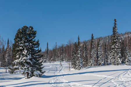 ski traces: Spruce in the snow and ski traces on a snowy mountain slope. Stock Photo
