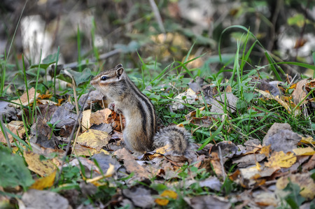 listened: Alert chipmunk standing in the grass and listened.
