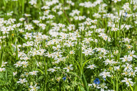 chickweed: Spring natural background of white wildflowers chickweed in the meadow