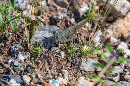 feelers: Insect locusts on background of sand and stones in the desert Stock Photo