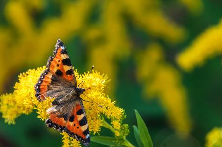pokrzywka: Pomarańczowy motyl pokrzywka, siedzi na żółty kwiat na zatarcie tle zielonej trawie