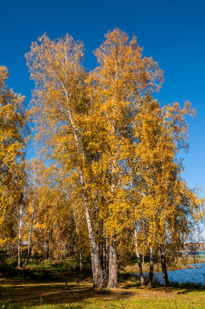 placid water: Colorful autumn landscape with birch trees with golden foliage, lake and forest on the shore of the lake. Stock Photo