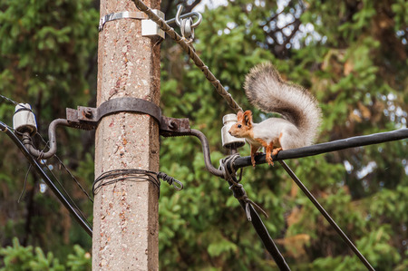 Beautiful fluffy courageous squirrel sitting high up on the electric cable photo