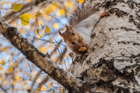 Portrait of a beautiful fluffy squirrel with a nut sitting on the trunk of a birch photo