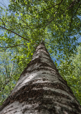 tallness: Bottom view on the trunk and foliage of a tall tree birch on a background of blue sky Stock Photo