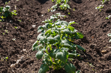 Potato plant growing on a bed in the vegetable garden Stock Photo