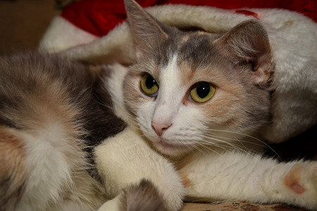 Portrait of a cute tri-colored cat.