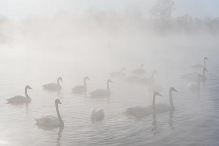 elegancy: Swans swim in the fog on the ice-lake in the morning sun in winter Stock Photo
