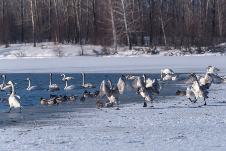 elegancy: Young swans are dancing on the snow on shore of the lake in winter sunny day Stock Photo