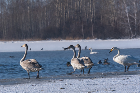 elegancy: Young swans walk on the snow on shore of the lake in winter sunny day