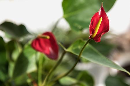 anthurium: Bright red anthurium flower on blurred background