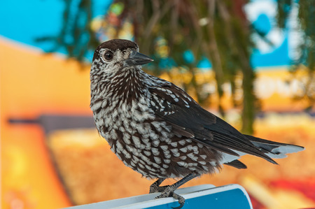 pecker: Bird nutcracker close up sitting on a background of branch of cedar
