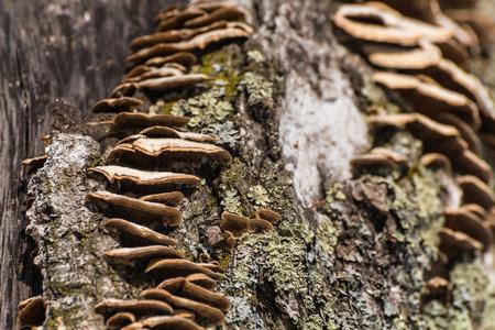 チャガ キノコの木の幹に成長