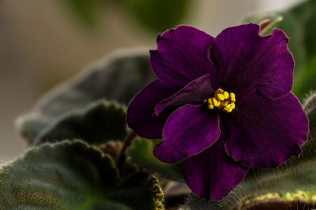 yellow stamens: Dark purple flower of violet with yellow stamens Stock Photo