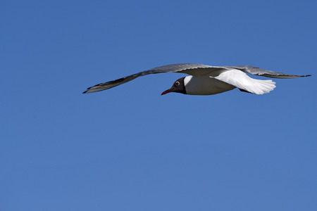 ooze: Bird seagull flies against the blue sky