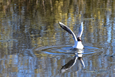 water wings: Bird seagull with outstretched wings closeup sitting on the water