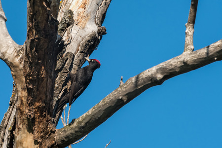 rhythmical: Big black woodpecker with a red cap on the tree against the blue sky Stock Photo