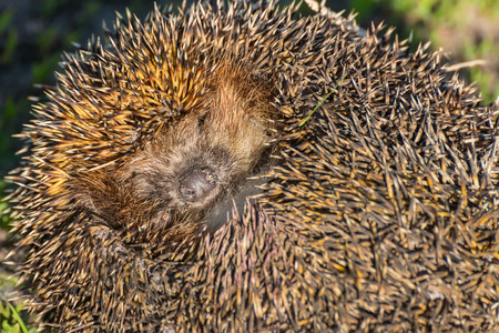 spiked hair: Portrait of cute and pretty hedgehog sleeping in the grass close up