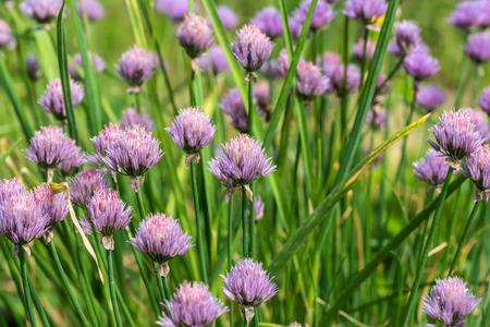 onion flowers: Beautiful natural floral background of purple onion flowers in the garden Stock Photo