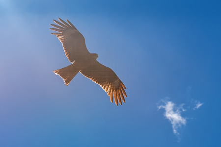 black kite: Bird black kite flying against the blue sky Stock Photo