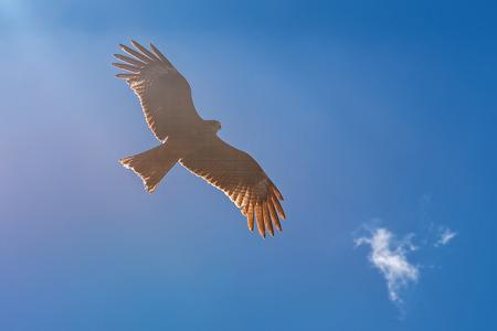 black feathered: Bird black kite flying against the blue sky Stock Photo